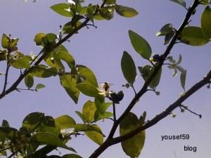 albinuţele adună miere din lămîiul meu