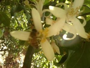 lămîiul şi albina