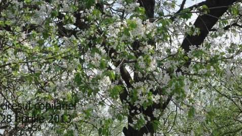 ciresul dulce in floare