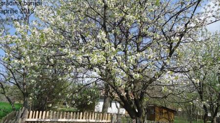 pomi înfloriţi
