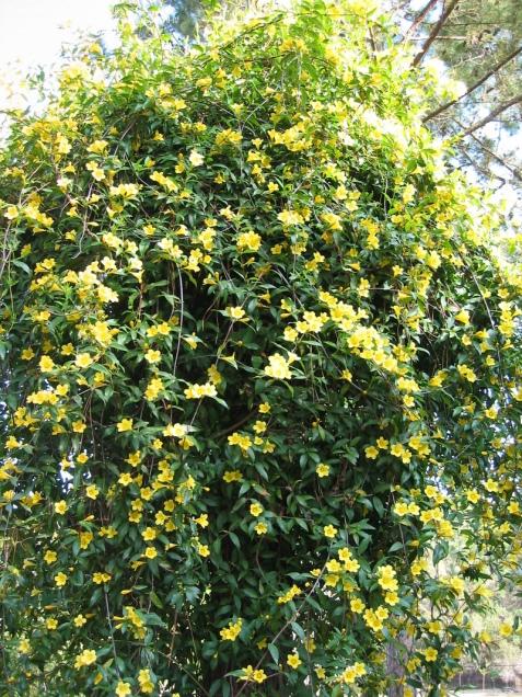 iasomie galbenă