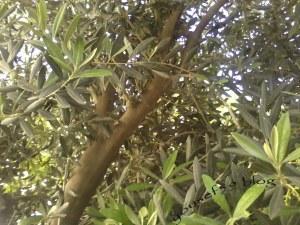 măslinii noştri în aprilie