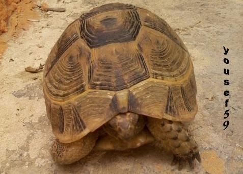 ţestoasă