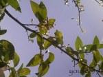albinuţa în căutareamierii