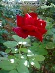 butaşii din vara au facut cîte o floare