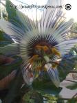 floarea iederei