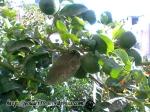 lamîi cu fructe verzi