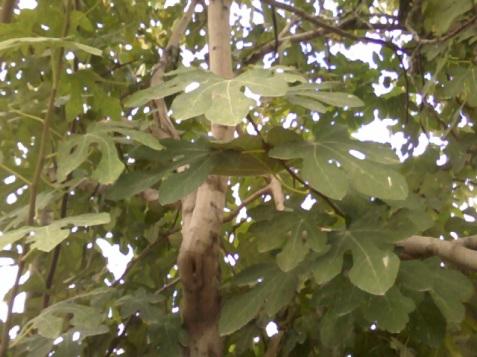 smochinul mai are încă frunze verzi ,mai durează pînă se usucă toate şi cad