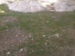 timidă iarba-mai are nevoie de ploi