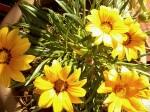 a supravieţuit sub zăpadă…îşi deschide florile cînd esoare