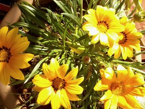 a supravieţuit sub zăpadă...îşi deschide florile cînd e soare