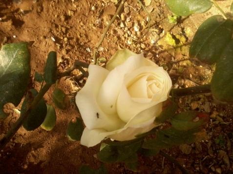 la mine în grădină doar un butaş are o floare