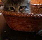 micul pisic