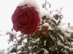 trandafiri pt.sagetatori...