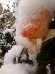 trandafirii galbeni