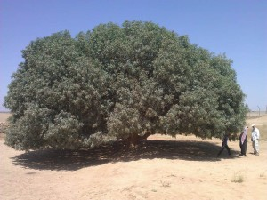 copacul din desert