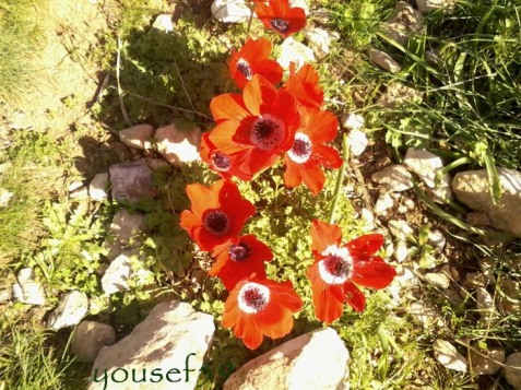 surisul anemonelor