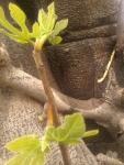 frunze de smochin crescute pe trunchiul copacului