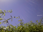 lonicera in soare face singuragard