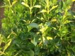 plante pentru gard viu
