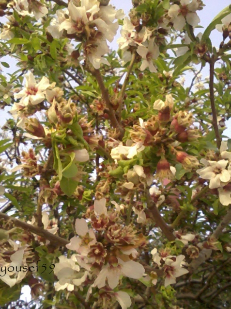 pomi care au inflorit de mult
