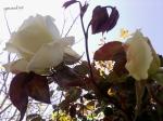 tufa de trandafiri albi