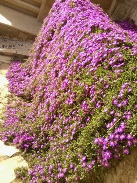 flori covor