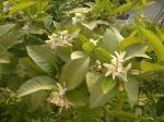 flori de lamii
