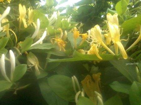 flori de aur si argint-lonicera japonica