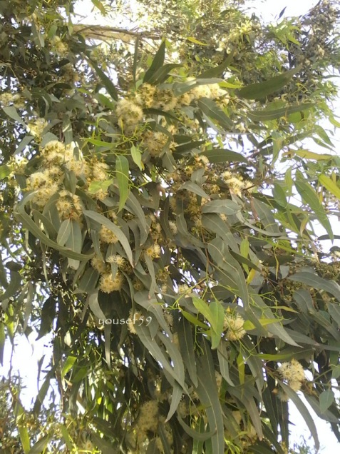eucalipt inflorit