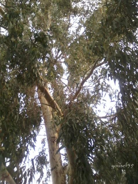 eucalyptus-keenya