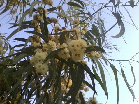 flori de eucalipt