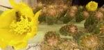 floare de cactusopuntia