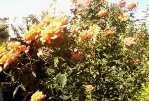portocaliu vesel