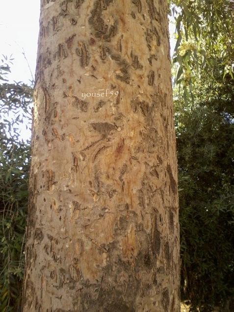 tulpina de eucalipt