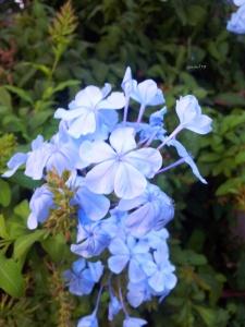 iasomie albastră