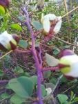 boboci de maracini in august