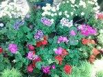 flori  de sera