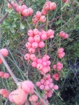fructe de maracini