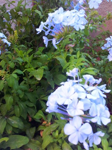 blue plubago-auriculata