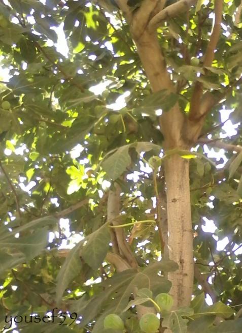 smochinele apar înaintea frunzelor
