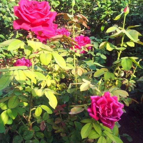 trandafiri in soare