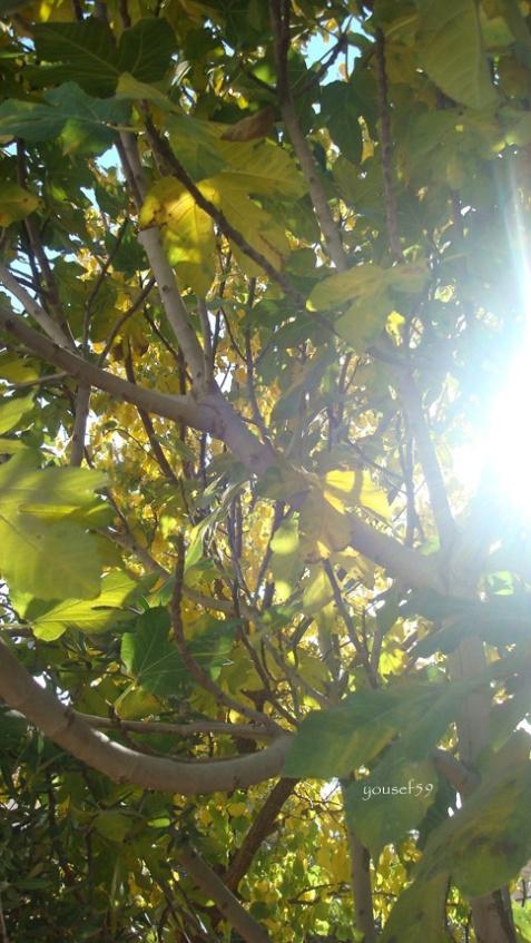 21 nov.2014-smochinul si el se face tot mai galben