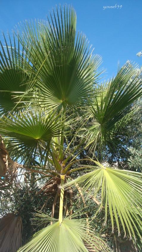 si frunzele de palmier mor