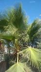 si frunzele de palmiermor