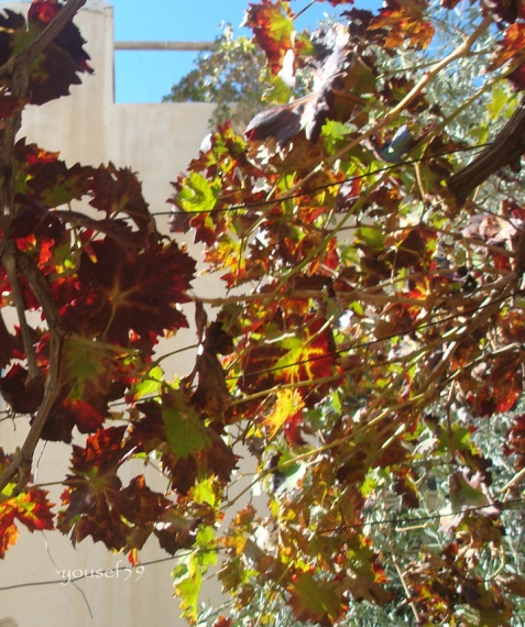 printre frunze de maslin