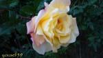 galben de februarie