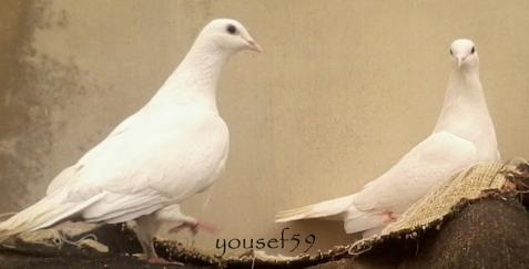 pereche de porumbei albi