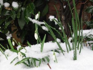 Snowdrop-vestitorul primăverii