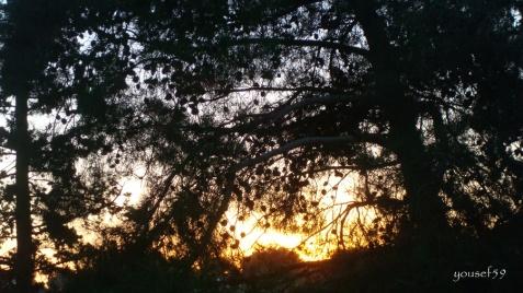 soare printre pini
